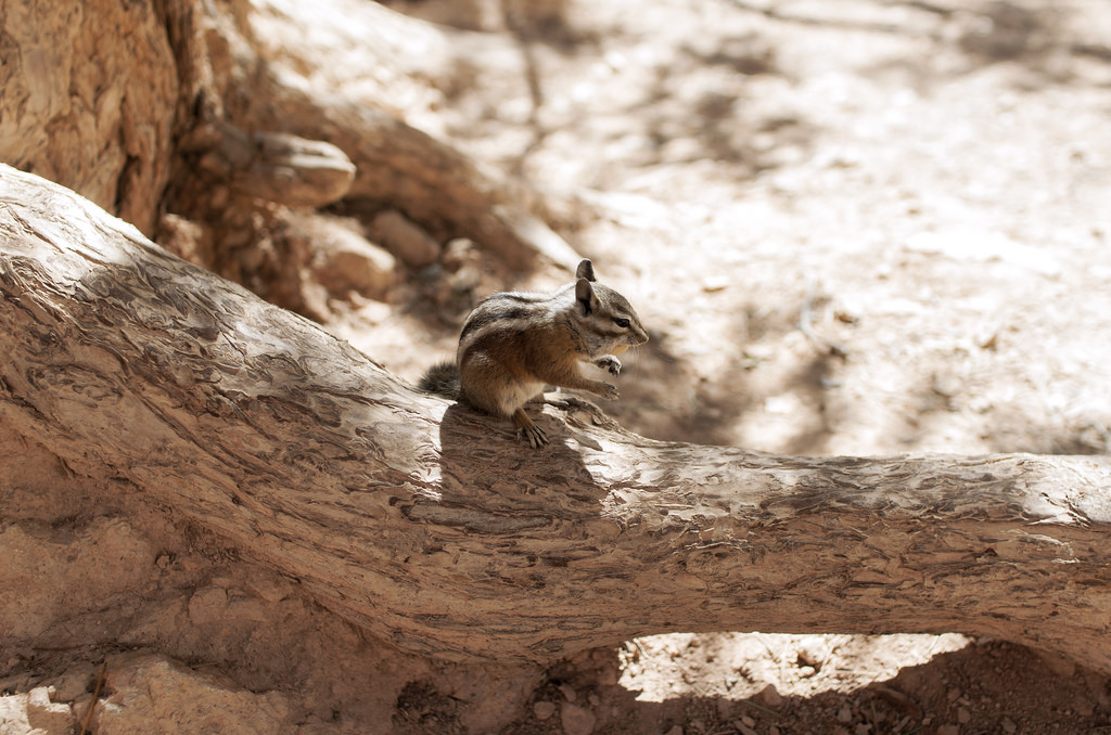 Chipmunki w Bryce Canyon